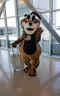 The star of the Shark Tank competition, DAS mascot Rudy, prepares to take off from Love Field for New Orleans last week.(City of Dallas)