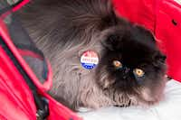 """James Bond, an 8-month-old black solid Persian, wears an """"I Voted"""" sticker put on by his handler, Nadja Bem of Dallas, outside the polling station at Reverchon Park on Election Day in November 2016.(File Photo/Staff)"""
