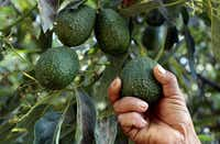 A farmer works at an avocado plantation in El Carmen ranch in the community of Tochimilco, Puebla State, Mexico, on April 5, 2019.(JOSE CASTANARES/AFP/Getty Images)