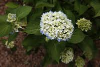 A Blue Enchantress  Hydrangea macrophylla(Rose Baca/Staff Photographer)