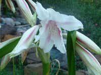Bright pink crinum lilies changed colors to white with pink stripes and for the last five seasons they have bloomed a beautiful pure white.(Howard Garrett)
