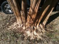 This crape myrtle tree has a properly exposed trunk flare.(Howard Garrett)