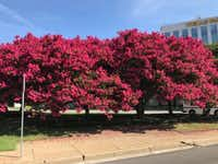 Crape myrtle trees showing off their potential with vibrant blooms.(Howard Garrett)