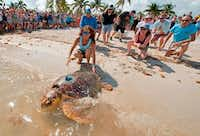 """An almost 200-pound loggerhead sea turtle dubbed """"Mr. T"""" crawled into the Atlantic Ocean on May 7 at Sombrero Beach in Marathon, Fla. The turtle was rescued in early February and received surgeries to remove a fishhook.(Andy Newman/Agence France-Presse/Getty Images/Florida Keys News Bureau)"""