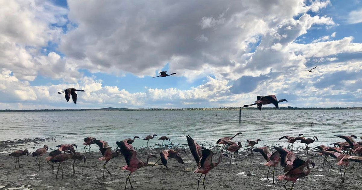 With drought over, Dallas Zoo helps release flamingo chicks back into wild in South Africa