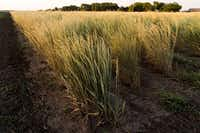 Kernza is a new grain developed by University of Minnesota's Department of Agronomy and Plant Genetics to be more sustainable.(General Mills)