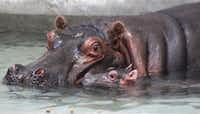 <p>Boipelo, the Dallas Zoo's 12-year-old female Nile hippopotamus, gave birth Tuesday following eight months of gestation. </p>(Courtesy/Dallas Zoo)