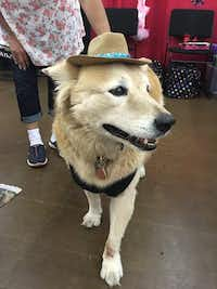B.K. tried on a hat during a previous Dallas Pet Expo.(2016 File Photo/Tatia Woldt)