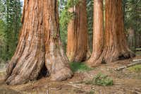 In addition to roaring waterfalls, Yosemite National Park boasts some of the largest Sequoia trees in the world in its Mariposa Grove. (Keith Walklet/Yosemite Conservancy)