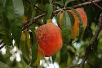 Peach scab is a fungal disease on peaches. Sierra Exif JPEG(Howard Garrett)