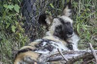 Ola, an 8-year-old female African painted dog, lies down in her new habitat in the Dallas Zoo. She, along with two more African painted dogs, are the first of the species at the Dallas Zoo since 1962.(Dallas Zoo)