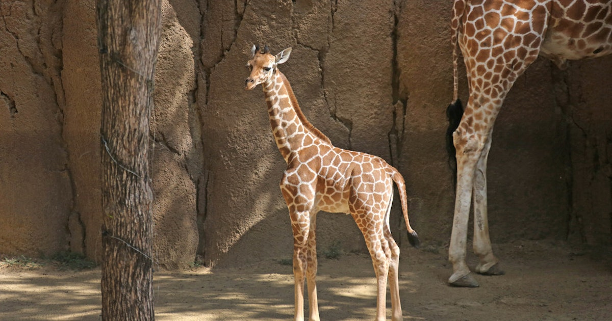 Dallas Zoo says 1-year-old giraffe dies while under anesthesia during exam...
