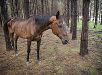 Most of the horses seized on the Camp County property appeared to be underweight and severely malnourished.(Humane Society of the United States/Meredith Lee)