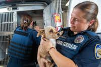 Dallas Animal Services field officer Jacqueline Konold holds one of the loose dogs picked up off the streets in Dallas Thursday. (Lynda M. Gonzalez/Staff Photographer)