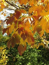 The Texas ash tree produces beautiful fall color.(Howard Garrett)