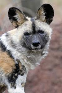 Ola, an 8-year-old female African painted dog, arrived at the Dallas Zoo on June 11.(Brookfield Zoo)