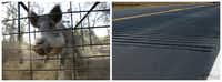 Left: A feral hog. Right: Rumble strips.(2012 File Photo/<p>Fort Worth Star-Telegram, North Dakota Department of Transportation</p>)