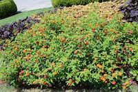 The lantana variety 'Citrus Blend' passed the 2019 plant trials at the Dallas Arboretum.(Dallas Arboretum)