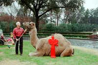 Teddy the Camel showed up at Ross Perot's estate on Strait Lane on Christmas Day 2000 as a payback prank of son-in-law Patrick McGee.(Ross Perot family)