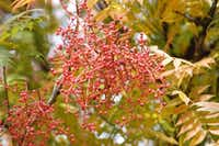 The Chinese pistache tree produces red berries.(Howard Garrett)
