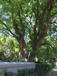 This Chinese pistache tree is located in Dallas along Turtle Creek and Armstrong.(Howard Garrett)