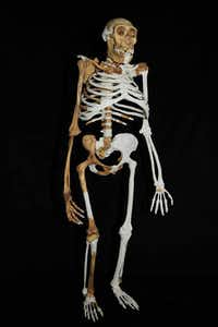 The Australopithecus sediba stands bipedally.(Brett Eloff, courtesy of University of the Witwatersrand)