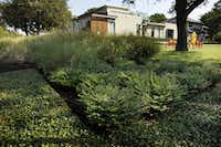 Ground cover of Asian jasmine around Mexican Heather and ornamental grasses in the front of a Dallas home.(Evans Caglage/Staff Photographer)
