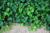 English ivy is an often used evergreen ground cover.(Howard Garrett)