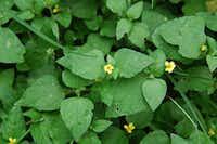 Horseherb is a native Texas ground cover that grows in shade.(Howard Garrett)