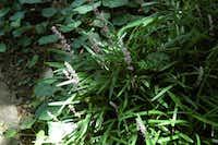 Liriope is a flowering ground cover.(Howard Garrett)