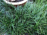 Ophiopogon is a finer texture than liriope.(Howard Garrett)