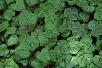 Persian ivy is a good English ivy substitute for complete shade.(Howard Garrett)