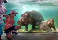 <p>Four-year-old Dylan Gutierrez (left) and 10-year-old Melanie Gutierrez greet hippo Boipelo and her baby hippo, Adanna, in Dallas on July 18, 2019, during the Dallas Zoo's annual summer Dollar Day, when admission costs only a dollar.</p>(Lynda M. Gonzalez/Staff Photographer)