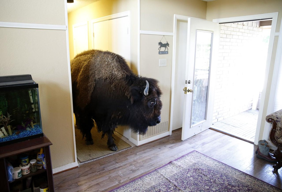 Image result for bison at a door