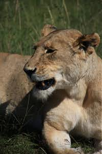 A lioness rests in the tall grass of Kenya, where Karen Blixen loved to hunt when she first came to Africa.
