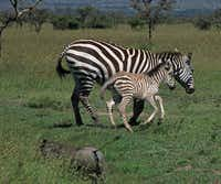Zebra and warthogs run in the plains of Kenya, not far from the home of Karen Blixen, which today is a museum on the outskirts of Nairobi.