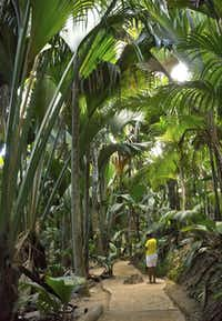 Coco-de-mer palms as tall as 110 feet shade paths that wind through the Valée de Mai Nature Reserve on Praslin Island. The palms' large, double-lobed nuts can weigh up to 65 pounds.( © April Orcutt. All Rights Reser  -  April Orcutt )