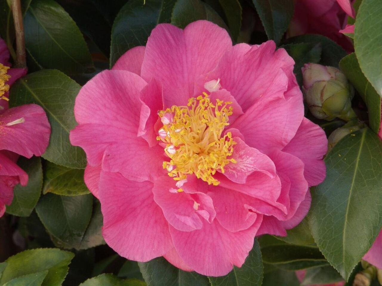 Somebody Needs A Camellias Intervention Gardening Dallas News