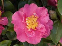 Camellia japonica 'Kumasaka' produces bright pink flowers in mid- to late-winter.( Monrovia )