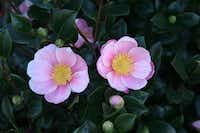 Camellia sasanqua 'Pink-A-Boo' is a sport of the popular red 'Yuletide.' Its deep-pink blooms are highly fragrant.( Monrovia )