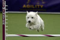 A West Highland White Terrier grabs some hang time.(TIMOTHY A. CLARY - AFP/Getty Images)