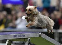A Yorkshire Terrier runs the agility course in the Westminster.(TIMOTHY A. CLARY - AFP/Getty Images)