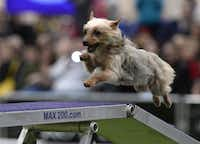 A Yorkshire Terrier runs the agility course in the Westminster.TIMOTHY A. CLARY - AFP/Getty Images