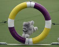 A Poodle clears the Agility Ring during the first-ever Masters Agility Championship at the 138th Annual Westminster Kennel Club Dog Show.(TIMOTHY A. CLARY - AFP/Getty Images)