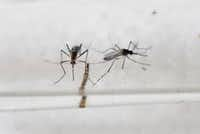 Aedes Aegypti mosquitoes in a lab in San Salvador(Marvin Recinos/AFP/Getty Images)