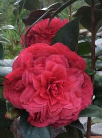 Camellia japonica 'Vestito Rosso' is a new japonica. New foliage is glossy, deep red with a perfect formation of petals.(Monrovia)