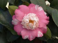The variegated Camellia japonica 'Chandleri Elegans,' hardy in zones 8-10, produces the unusual so-called anemone form flowers. It will grow in a container or is useful in a hedge, woodland garden or border.( Monrovia )
