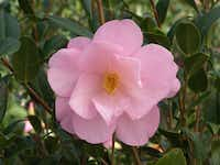 'Taylor's Perfection' camellia starts blooming around Thanksgiving. It reaches about 6 to 8 feet high and wide in a decade of growth. Popular in Asian-themed gardens, camellias symbolize fidelity and long life, so they would make an unusual wedding or housewarming gift.( Monrovia )