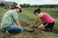 Aggies like Lindy Reese, left, and Paige Walton come to Howdy Farm when not in class to plant seedlings in prepared beds. Howdy Farm is a community-assisted agriculture farm on the Texas A&M University campus.