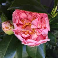 The double blooms of Camellia japonica 'Debutante,' a longtime Dallas favorite, can be 4 inches wide. It is a good option for a privacy hedge.(Mariana Greene - Special Contributor)